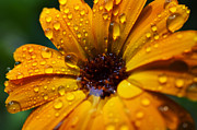 Orange Daisy In The Rain Print by Thomas R Fletcher