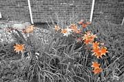 Orange Day Lilies. Print by Ausra Paulauskaite