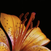 Daylily Posters - Orange Day Lilly on Black Poster by Michael Peychich