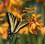 Crocosmia Prints - Orange Delight Print by Angie Vogel
