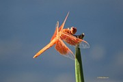 Veronica Batterson - Orange Dragonfly on Blue