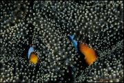 Two Islands Photos - Orange-fin Clownfish Find Refuge by David Doubilet