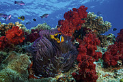 Tropical Climate Photos - Orange-finned Clownfish And Soft Corals by Terry Moore