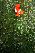 Anemone Prints - Orange Fish With Yellow Stripe Print by Perry L Aragon
