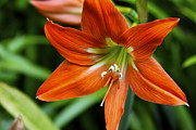 Makawao Photos - Orange Flame Hippeastrum Barbados Lily by Karon Melillo DeVega