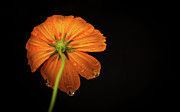 Orange Flower Acrylic Prints - Orange Flower On Black Background Acrylic Print by photo by Jason Weddington