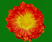 Ginger Flower Digital Art Posters - Orange Flower with Green Background Poster by Jacob  Melnick