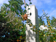 Spider And Fly Prints - Orange Garden Spider and Fly Print by Pamela Patch