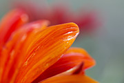Gerber Daisy Art - Orange Gerber 1 by Jessica Velasco