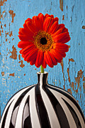 Round Prints - Orange Gerbera Mum Print by Garry Gay