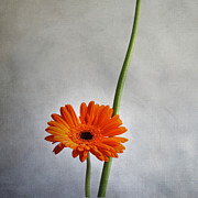 Filled Prints - Orange gernera Print by Bernard Jaubert