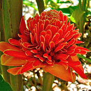 Ginger Flower Digital Art Posters - Orange Ginger in Manuel Antonia-COSTA RICA Poster by Ruth Hager