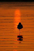 Bird At Sea Photos - Orange Glow of Silver Strand  by Johanne Peale