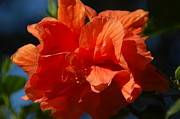Florida Florals Photos - Orange Hibiscus by Aimee L Maher