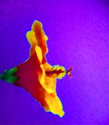 Summer - Orange Hibiscus With Purple Background by Linnea Tober