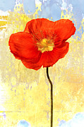 Flower Photos - Orange Iceland Poppy on Yellow and Blue by Carol Leigh