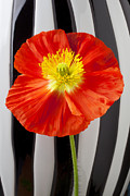 Poppies Art - Orange Iceland poppy with stripes by Garry Gay