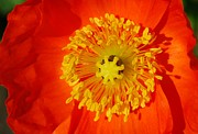 Marilynne Bull - Orange Icelandic Poppy