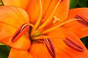 Flower Gardens Digital Art Prints - Orange II Print by Amanda Kiplinger