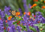 Monarch Photos - Orange Juice by Lori Deiter