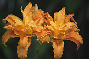 Teresa Mucha - Orange Kwanso Daylily Pair