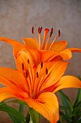 Orange Flower Digital Art Framed Prints - Orange Lilies 3 Framed Print by Amy Fose