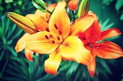 Lily Flowers - Orange Lilly by Cathie Tyler