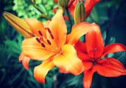 Lily Flowers - Orange Lillys by Cathie Tyler