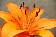 Orange Flower Digital Art Framed Prints - Orange Lily 1 Framed Print by Amy Fose