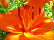 Lilies Posters - Orange Lily Flower art print Summer Lily Garden Baslee Troutman Poster by Baslee Troutman Fine Art Photography