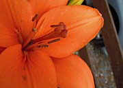 Julie Williams Metal Prints - Orange Lily Metal Print by Julie Williams