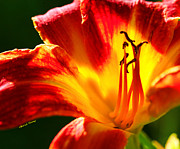 Bulb Flowers Prints - Orange Lily or Fire Lily Print by Cheryl Young