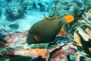 Triggerfish Art - Orange-lined Triggerfish by Georgette Douwma