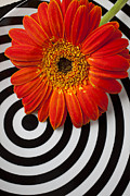 Rings Posters - Orange Mum With Circles Poster by Garry Gay