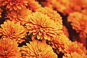 Janaye Book - Orange Mums
