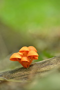 Forest Floor Photos - Orange Mushrooms by JD Grimes