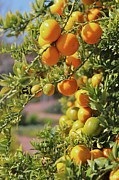 Fruit Tree Posters - Orange On Tree Poster by Karol Franks
