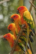 Attention Prints - Orange Parakeets Chiang Mai Thailand Print by Stuart Corlett