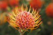Pin Cushion Prints - Orange Pin Cushion Protea Print by Ron Dahlquist - Printscapes