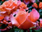 Orange-pink Roses  Print by Rona Black