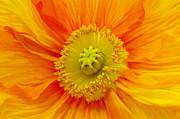 Angela Doelling AD DESIGN Photo and PhotoArt - Orange Poppy