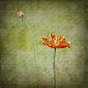 Vivid Colorful Flowers Prints - Orange Poppy Print by Marion McCristall
