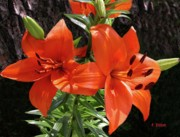Frances  Dillon - Orange red Asian Lilies