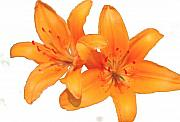 Day Lilly Prints - Orange Print by Robert OP Parrish
