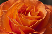 Steve Purnell Photo Metal Prints - Orange Rose 2 Metal Print by Steve Purnell