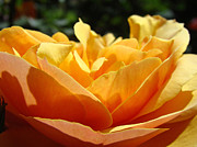 Flower Photographs Prints - Orange Rose Art Prints Baslee Troutman Print by Baslee Troutman Office Art Collections