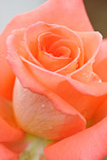 Day Photo Originals - Orange Rose by Atiketta Sangasaeng