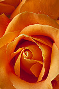 Orange Roses Framed Prints - Orange Rose Close Up Framed Print by Garry Gay