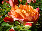 Orange Roses Prints - Orange Rose Flower Garden art prints Floral Print by Baslee Troutman Fine Art Photography