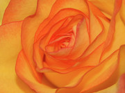 Gtaylormade Posters - Orange Rose Poster by Graham Taylor